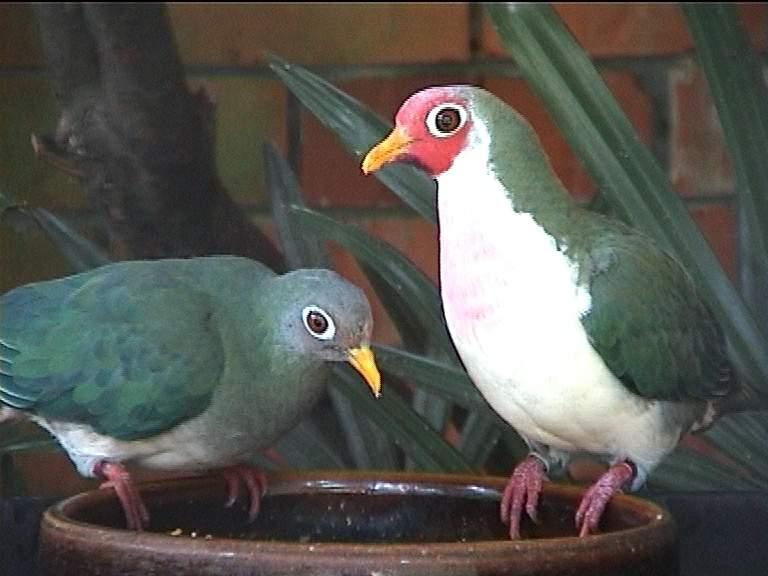 Пёстрые голуби